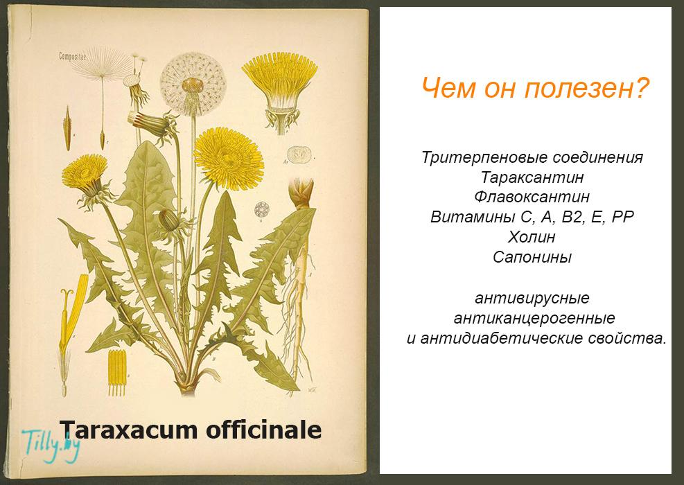 Полезные свойства одуванчика обыкновенного (Taraxacum officinale)