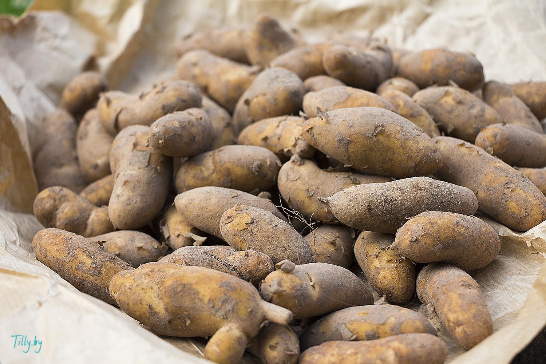 Картошка-крысеныш